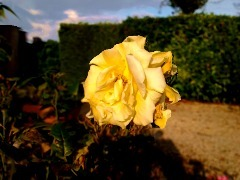 Rose Yellow by Reception