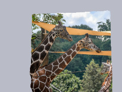 Giraffes at the Zoo by Wtangel