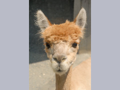 Alpaca looking at the viewer and perking up its ears by Wtangel